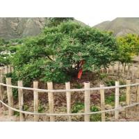 百年牡丹 古树牡丹 庭院牡丹树价格 庭院牡丹 菏泽三保牡丹