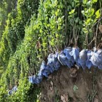 东北丁香苗 红丁香苗圃出售 鸿发种苗发育基地 出售红丁香种苗