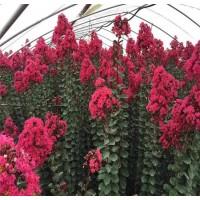 玫瑰红紫薇苗