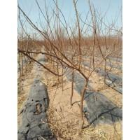 2-5公分的杏树大量供应 昌黎建明苗木基地 杏树小苗 杏树苗