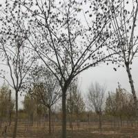 17公分合欢价格 邳州合欢精品苗 江苏文森银杏基地 合欢树