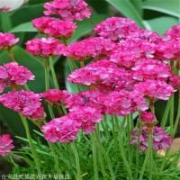 精品海石竹出售 凯盛花卉 海石竹营养钵苗 专业种植基地 石竹