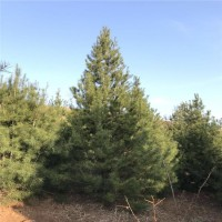 直销耐寒耐旱白皮松树 基地批发白皮松 焦作园野四季常青白皮松