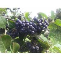 黑果花楸扦插小苗