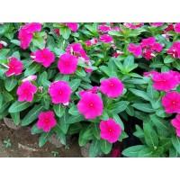 青州花卉 专供长春花钵苗 长春花小苗 造景长春花 好全花卉
