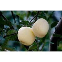 富士苹果苗 黄富士苹果苗 黄香蕉苹果苗 昌黎苹果苗 建明苗木