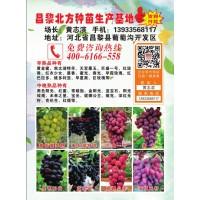 早熟葡萄苗 酿酒葡萄苗 中晚熟葡萄苗 北方种苗生产基地 葡萄