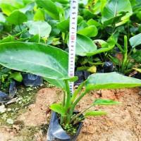 鞍山美人蕉价格 上海美人蕉杯苗 成活率高 大型苗圃 凯盛花卉