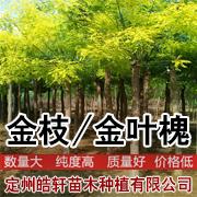 河北定州市皓轩苗木种植有限公司