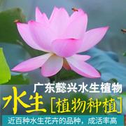 广东懿兴水生植物科技有限公司