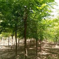 刺槐价格 刺槐销售 刺槐厂家 8-10公分刺槐树 众信苗圃