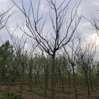 低价销售合欢 合欢的图片 合欢供应 山东合欢基地 特色苗木
