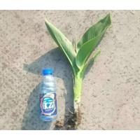 美人蕉苗 水生美人蕉 水生植物 广东美人蕉价格 懿兴水生植物