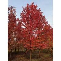 15公分美国红枫树 美国红枫价格 金鼎苗木 专供美国红枫树