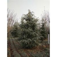 雪松精品树