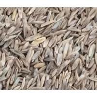 芨芨草牧草种子大量批发 发芽率高 种植简单 适应性好的牧草