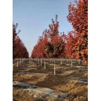 美国红枫@美国红枫苗#2021美国红枫价格表#大连世纪园林#