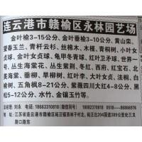 金叶榆3-15公分 金叶榆基地 江苏苗木网 金叶榆 永林园艺