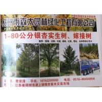 邳州银杏树 森大园林 专供1-80公分银杏实生树 银杏嫁接树
