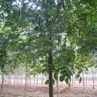 15公分白蜡树价格?京鲁苗圃#白蜡精品树 白蜡行道树