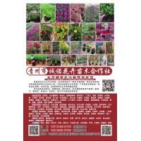 常年出售宿根花卉营养钵苗 芝樱花钵苗 多色芝樱花苗 花海造景
