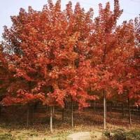 专业出售美国红枫 美国红枫批量直销 质优价廉 京鲁苗圃 红枫