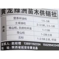 营养杯油松1.5-3米@油松小苗@油松苗价格@黄龙绿洲苗木