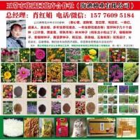 三叶草种子/白三叶种子价格/地被草花/花满园花卉/三叶草种子
