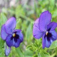 进口紫罗兰种子