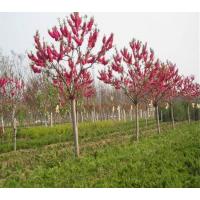 求购8公分红叶碧桃(要红花的),0.8-米杆,3-4年帽