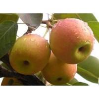 乡村绿化果树价格 建明苗木 苹果梨价格 南果梨价格 南国梨苗