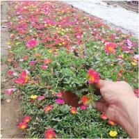青州太阳花苗 太阳花价格 地被植物太阳花直销 红艳艳花卉