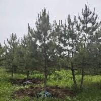 常年供应造型油松 单杆造型油松 绿化树工程专用 森和油松基地